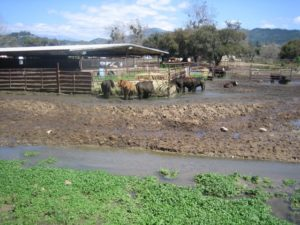 Ventura River - Livestock_C3f5