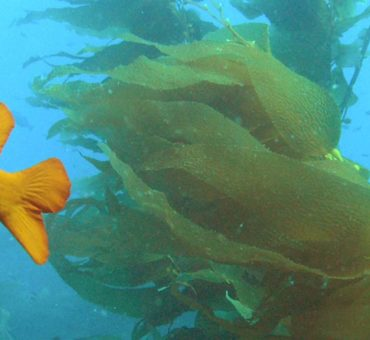 A garibaldi fish underwater.