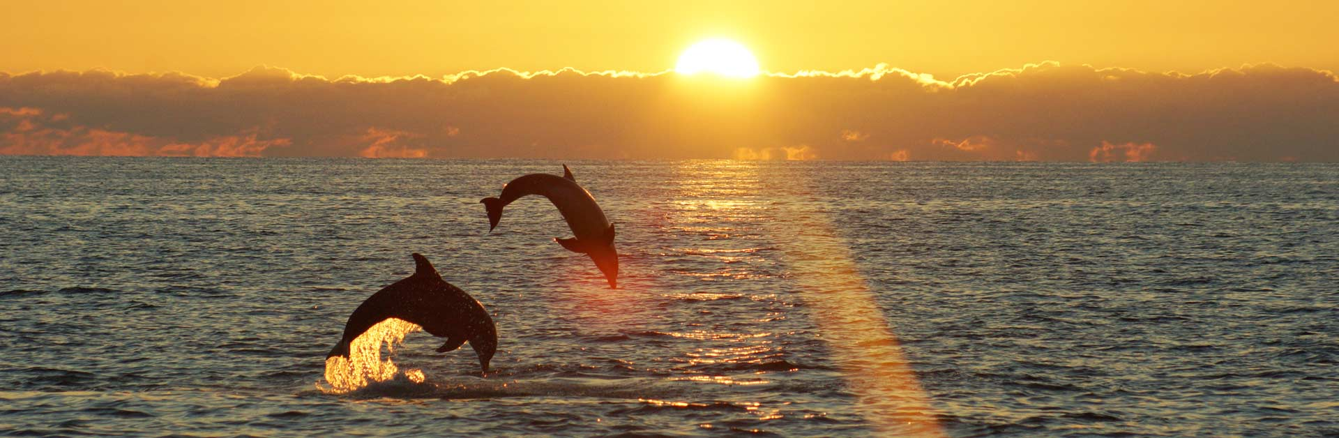 Dolphins jumping in the ocean.