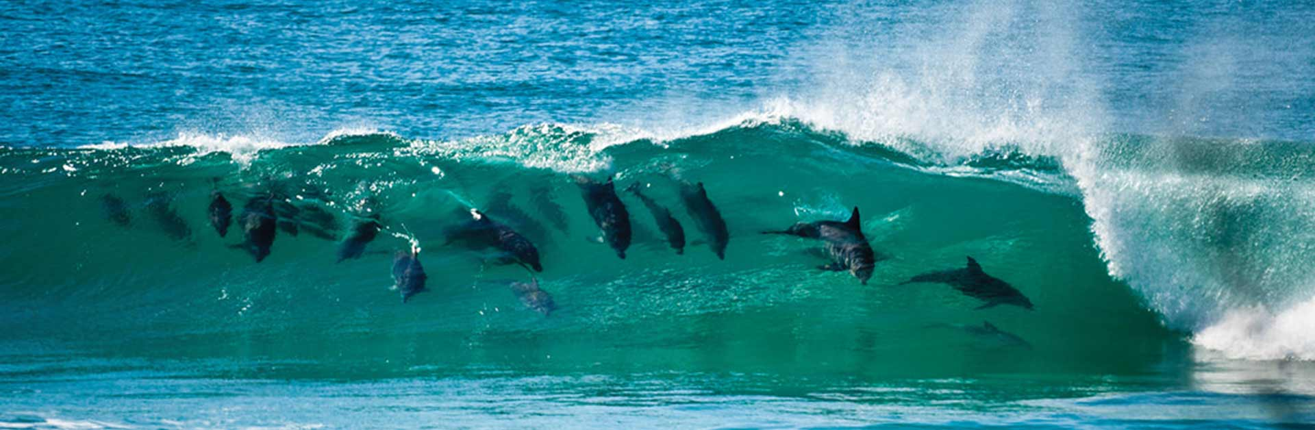 Dolphins surfing in the waves.